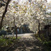 新品種のしだれ桜