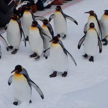 見飽きないペンギンのお散歩
