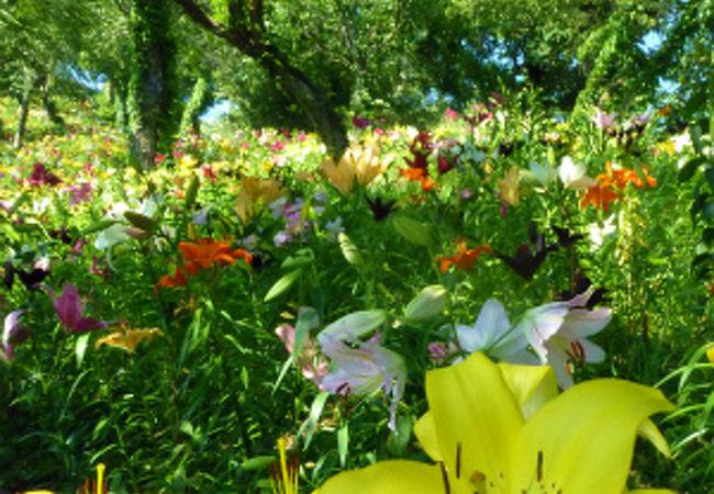咲き乱れる百合の花