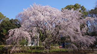 満開の枝垂れ桜は必見です