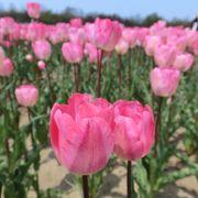 チューリップと菜の花のコラボ