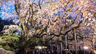 六義園の枝垂桜…昼・夜、どちらがお勧め?