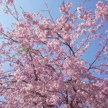 一橋大学前の桜