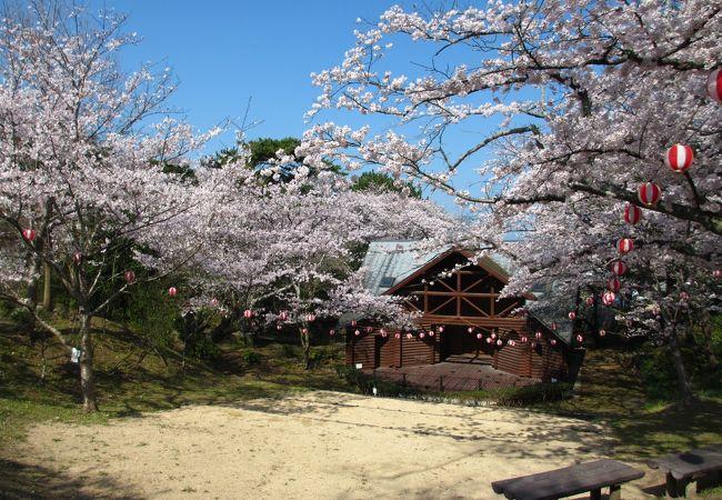 若山公園の桜は見ごろでした。