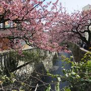 早咲きのピンク色の桜