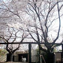 桜の樹の下のラマ(笑)