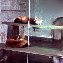 人気のレッサーパンダ