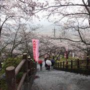雨の中でも美しい全山約2000本の桜