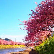 満開の時期の河津川沿いの桜並木は本当に素晴らしいです! 平日でも激混み!