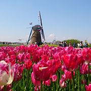 チューリップと風車。まるでオランダみたい?
