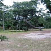 観音寺の観光のランドマークでもある寛永通宝の砂絵周辺に見事な松並木があります
