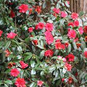 4月の桜の時期に雪椿も見頃です