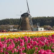 風車とチューリップでステレオタイプ的なオランダ風景