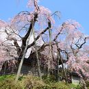 円正寺のシダレザクラ