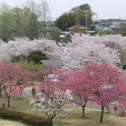 桜も桃も楽しめます