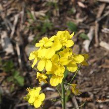 黄色い可憐な花はもう春~(♪)