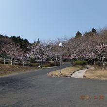 美女塚も桜で満開