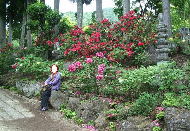 広いお寺の園内に数々の牡丹