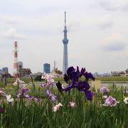 堀切水辺公園で花菖蒲とスカイツリーの共演