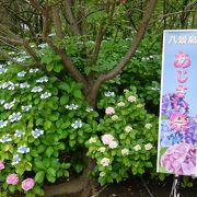 約2万株の紫陽花は見応えあり