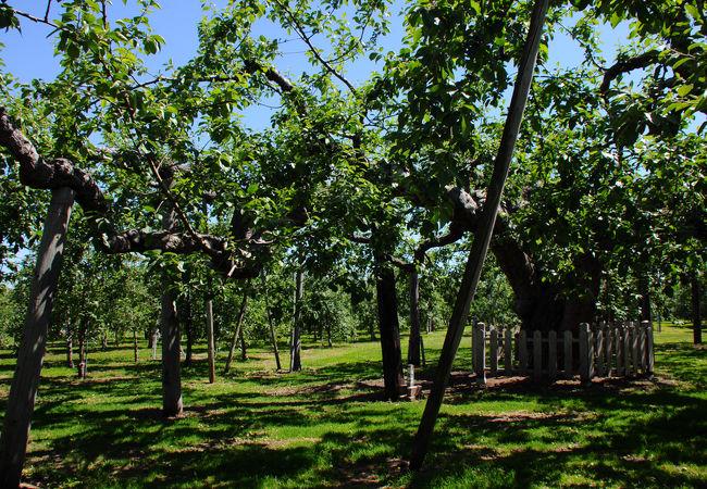 日本最古のりんごの木