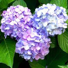 こちらはミッキー型紫陽花。
