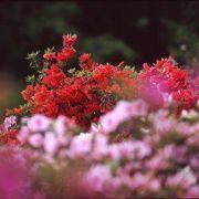 ツツジの咲き乱れる公園