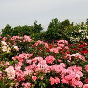 バラを見るなら秋より春がおすすめ