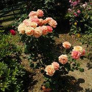 たくさんのバラ!