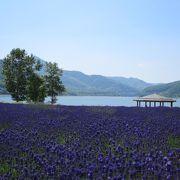 湖畔の風を感じながら紫のラベンダー