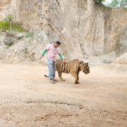 まるで猫のようなトラが沢山いました