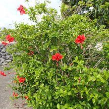 周辺に咲いているハイビスカス