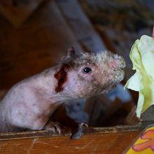 ハダカデバネズミの鳴き声は聞いてびっくりです!
