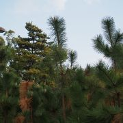 今となっては松の並木が残るばかり