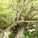 テリハボクの大木