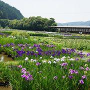 美しい花菖蒲と紫陽花
