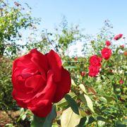 秋のバラはお得