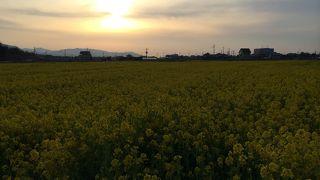 見奈良菜の花まつり