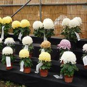 見事な菊の展示