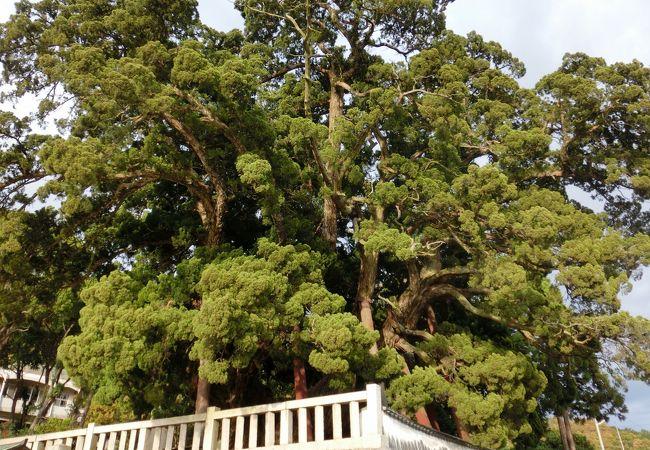 樹齢1500年 一本の木が林のように見える(◎o◎)