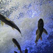 川魚のジャンプは水位の下がりたての頃に