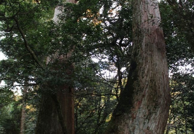 市房神社への参道の巨大杉