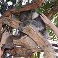 コアラに触れる、カンガルーとワラビーに餌をやれる動物園