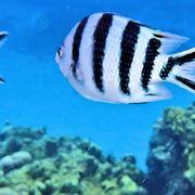 ケラマブルーの美しい海とすばらしいサンゴ礁が楽しめる最高のビーチです。