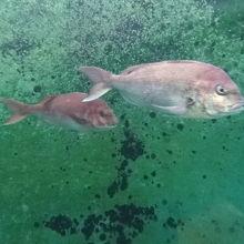 水槽があって鯛が泳いでいました。