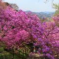 写真:岩根山ツツジ園