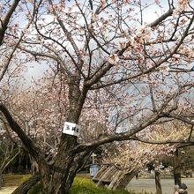 桜アップ!玉縄桜です