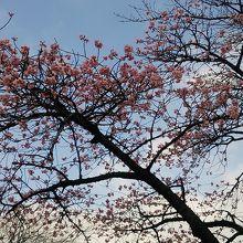 河津桜も有ります♪