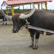 水牛車でのんびり渡れる