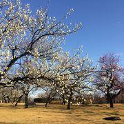 種類が多い梅が満開!